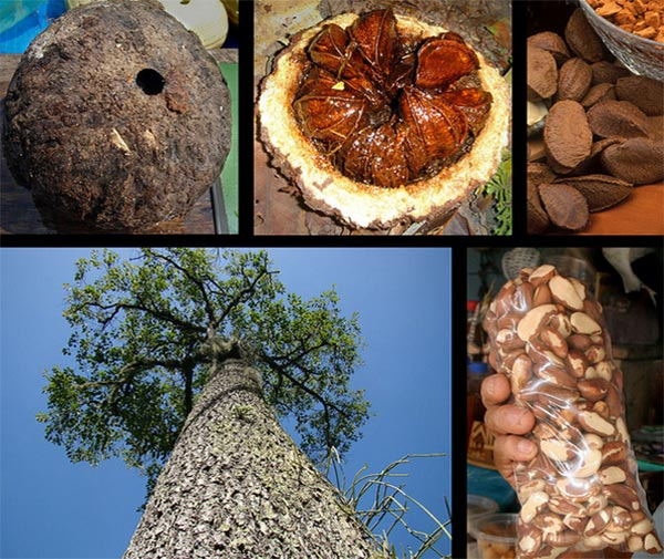 Brazil nut growth circle