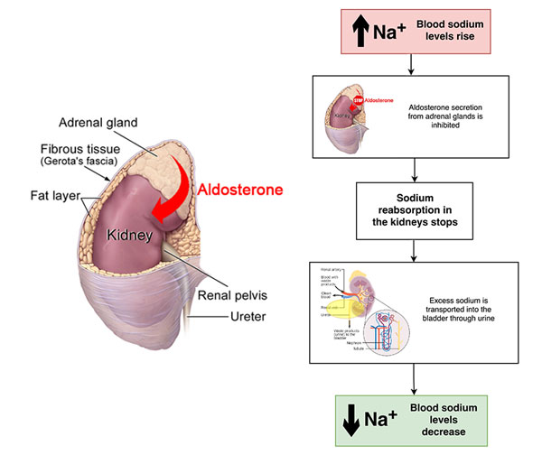 adrenal cortex secreting aldosterone after eating too much salt