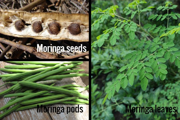 Moringa easy digested protein