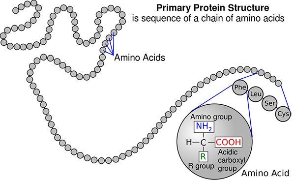 protein chain and structure
